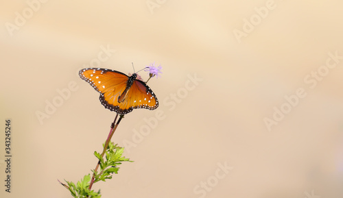 Photo monarch butterly