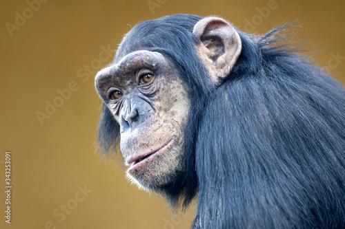 Photo portrait of cute chimpanzee in natural habitat