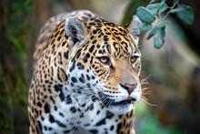 Portrait Of A Jaguar In Outdoor Wild Scene