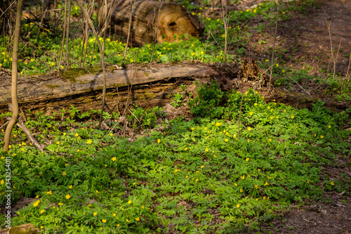 Plant Anemone ranunculoides (yellow anemone, yellow wood anemone or buttercup an Canvas Print