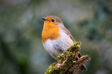 Robin On A Mossy Log