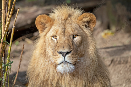 Fotografia portrait of young male lion in natural habitat