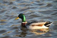 Close-up Of Mallard Duck Swimming On Lake