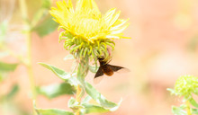 A Bee Fly In The Clutches Of A...