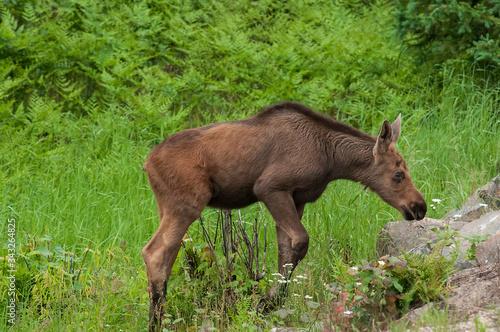 Moose calf in marsh Algonquin Park Ontario Canada Canvas Print