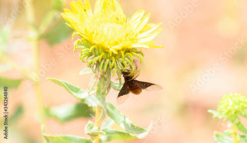 Fototapety, obrazy: A Bee Fly in the Clutches of a Crab Spider Hanging from a Bright Yellow Flower in Northern Colorado
