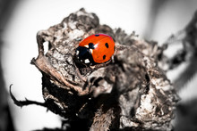 A Lonely Colorful Ladybug In A...