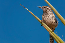 Cactus Wren Perched In Yucca;  Big Bend NP;  Texas