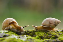 Two Snails Enjoy To Eating Moss