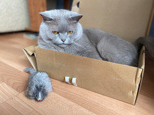 The Grey Cat British Breed Wit...