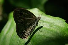 Close Up Shot Of Ypthima Huebneri Butterfly