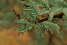 Acacia Tree Under The Rain