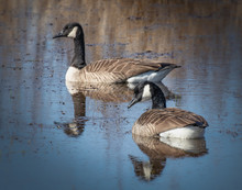 A Pair Of Canada Geese Floats ...