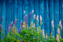 Lupine Flowers On Wooden Fence