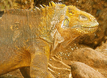 Close-up Of A Land Iguana From...