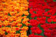 Strisce Colorate Di Tulipani Rossi E Tulipani Gialli E Rossi