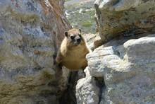 High Angle View Of Rock Hyrax ...