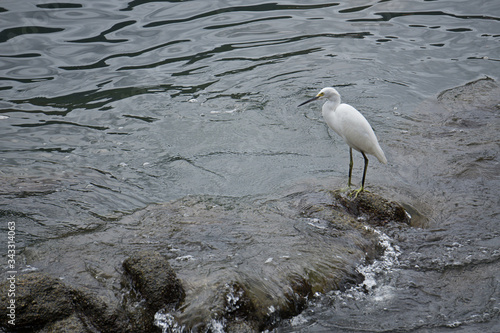 Garza ave blanca sobre piedra sumergida en el mar Canvas Print