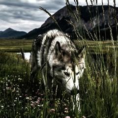 Fototapeta Zwierzęta Woolf On Field Against Sky