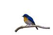 Beautiful male of Hill Blue Flycatcher (Cyornis banyumas) on branch isolated on white background.Saved with clipping path.