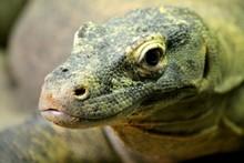 Close-up Of Monitor Lizard