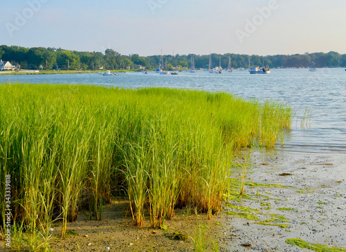 Obraz na plátně Marsh grass (Spartina alterniflora) is the keystone species of the coastal salt marsh ecosystem