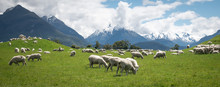 Panoramic Shot Of Herd Of Sheep Grazing On The Green Meadows With Mountains In Backdrop, Shot In Glenorchy, New Zealand