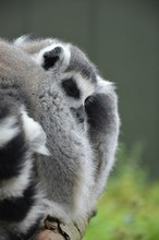 Close-up Of Lemur Relaxing In Forest