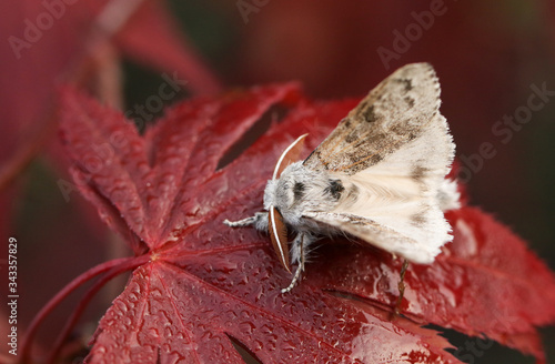 A pretty Pale Tussock Moth, Calliteara pudibunda, percing on a red Acer leaf in spring Tapéta, Fotótapéta