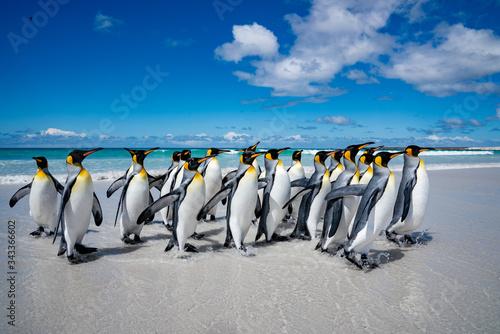 ペンギンの群れ,フォークランド諸島,ボランティアポイント,Earththeater Canvas Print