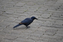 High Angle View Of Red-winged Starling On Cobblestone Street