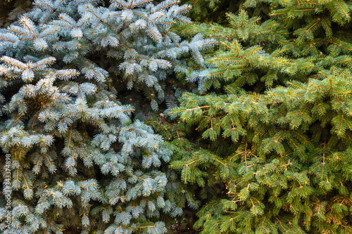 Photo Branches of two different species of spruces - blue (Picea pungens) and european (Picea abies) in one frame