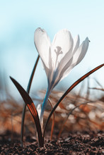 Close Up Of Single Blue Opened Spring Crocus Flower. Shallow Depth Of Field, Bokeh And Blur. Green Grass All Around