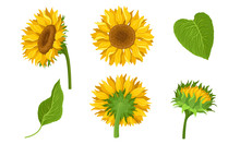 Sunflower Agricultural Plant W...