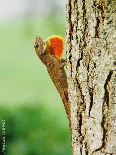 Photo Close-up Of Carolina Anole On Tree Trunk