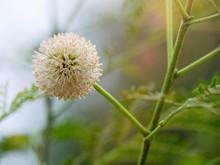 Leucaena Leucocephala Flower. De Wit Flower Blossom