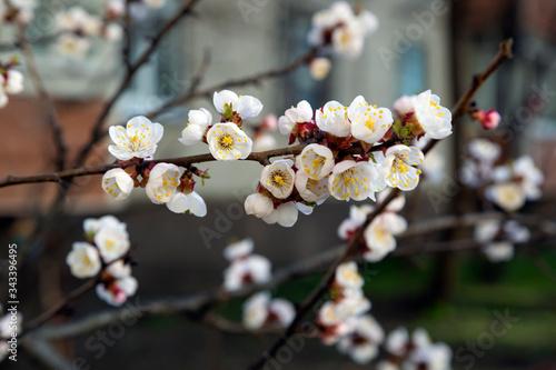 Photo Apricot blossom