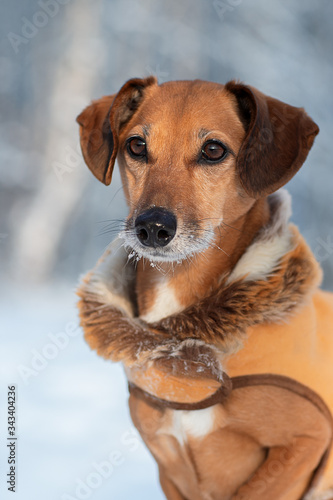 Leinwand Poster Beautiful portrait of a mongrel dog in winter clothes