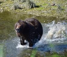 Bear Running In River