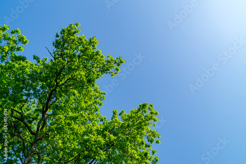 Rami e foglie della quercia in primavera Fototapeta