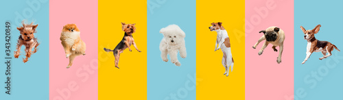 Fototapeta Young dogs jumping, playing, flying. Cute doggies or pets are looking happy isolated on colorful or gradient background. Studio. Creative collage of different breeds of dogs. Flyer for your ad. obraz