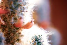 Cactus Flower With Needles Clo...