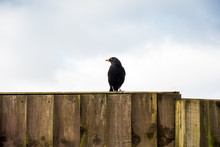 Blackbird Perched On A Fence