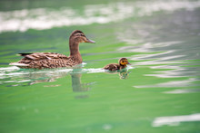 Young Female Duck With Little ...