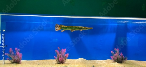 Photo baby alligator gar fish in an aquarium and plants