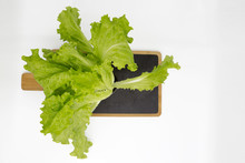 Bush Lettuce Grown In A Greenhouse In A Pot On A Black Kitchen Board.  On White  Background