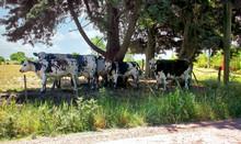 Black And White Cows Gather Un...