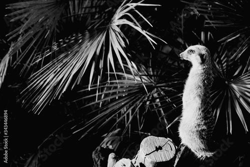 Meerkat Against Plants Canvas Print