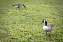 A Couple Of Canadian Geese Eating On A Grassy Background. The Male Goose Is In The Foreground With The Female Blurred In The Background. Canadian Geese Are Migratory And Native To North America.