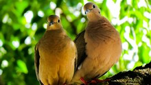 Close-up Portrait Of Mourning Doves